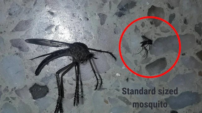 Real giant mutant mosquito: Cazador